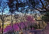 白毛台山  櫻花:IMG_20210213_093329_調整大小.jpg