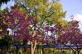 中正記念堂櫻花:DSC_0045_調整大小.JPG