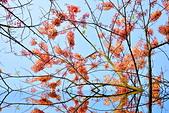 春色滿園 花旗木:DSC_0277_調整大小.JPG