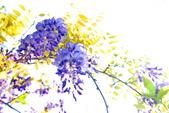 紫籐霧雨:DSC_6349_調整大小.JPG