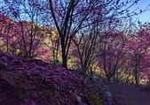 白毛台山  櫻花:IMG_20210213_093433_調整大小.jpg