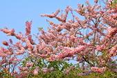 春色滿園 花旗木:DSC_0349_調整大小.JPG