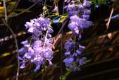 紫籐霧雨:DSC_6345J_調整大小.jpg