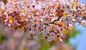 春色滿園 花旗木:DSC_0350_調整大小.JPG