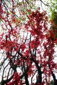 陽金公路的 紅槭:DSC_0071_調整大小.JPG