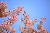 春色滿園 花旗木:DSC_0363_調整大小.JPG