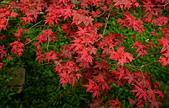 陽金公路的 紅槭:DSC_0080_調整大小.JPG