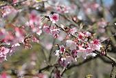 2021平菁街 第ㄧ棵滿開的櫻花:DSC_0341_調整大小.JPG
