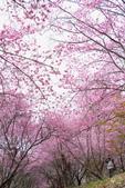 50農場櫻花 :20210302 武陵農埸_210311_12_調整大小.jpg