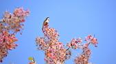 春色滿園 花旗木:DSC_0367_調整大小.JPG