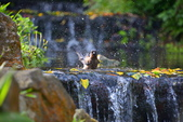樹雀洗澡-1: