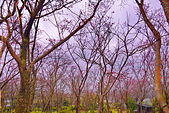 陽明山 櫻花林: