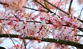 春色滿園 花旗木:DSC_0386_調整大小.JPG