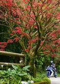 陽金公路的 紅槭:DSC_0242_調整大小.JPG