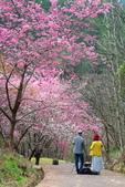 50農場櫻花 :20210302 武陵農埸_210311_14_調整大小.jpg