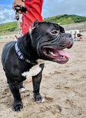 白沙灣戲水:惡霸犬