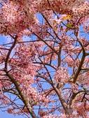 三月櫻~熱力綻放 花旗木:IMG_20200327_090153_調整大小.jpg