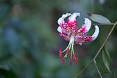 最美的東亞百合...艷紅鹿子百合.2: