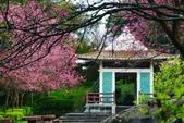 陽明山 後山公園 櫻花:DSC_0067.jpg