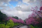 陽明山 後山公園 櫻花:DSC_0161.jpg