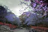 陽明山 後山公園 櫻花:DSC_0185.jpg