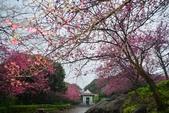 陽明山 後山公園 櫻花:DSC_0230.jpg