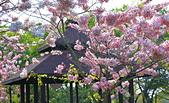 春色滿園 花旗木:DSC_0258_調整大小.JPG