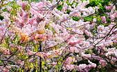 春色滿園 花旗木:DSC_0286_調整大小.JPG