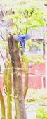 藍鵲群戲: