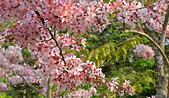 春色滿園 花旗木:DSC_0306_調整大小.JPG
