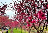 中科崴立櫻花公園 櫻花賞:IMG_20210212_155945_調整大小.jpg