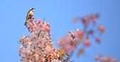 春色滿園 花旗木:DSC_0360_調整大小.JPG