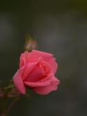 浪漫玫瑰花:DSC_0243_調整大小.JPG