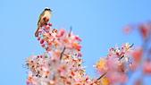 春色滿園 花旗木:DSC_0361_調整大小.JPG