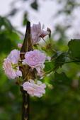 浪漫玫瑰花:DSC_0180_調整大小.JPG
