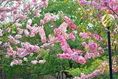 春色滿園 花旗木:DSC_0370_調整大小.JPG