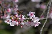 2021平菁街 第ㄧ棵滿開的櫻花:DSC_0348_調整大小.JPG