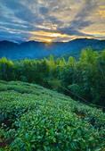 大崙山茶園:DSC_0706_調整大小.JPG
