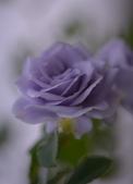 浪漫玫瑰花:DSC_0367_調整大小.JPG