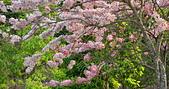 春色滿園 花旗木:DSC_0381_調整大小.JPG