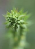 太平山的 毛地黃 花: