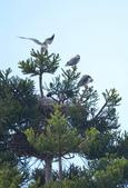 3隻小鷹: