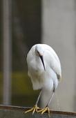 遇見 白鷺鷥:DSC_0359_調整大小.JPG