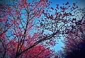 白毛台山  櫻花:IMG_20210213_091459_調整大小.jpg