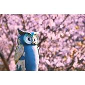 陽明山 橘餐廳 櫻花賞 4.10:相簿封面