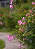 浪漫玫瑰花:DSC_0272_調整大小.JPG