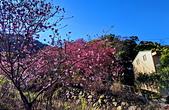 白毛台山  櫻花:IMG_20210213_090028_調整大小.jpg