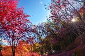 白毛台山  櫻花:IMG_20210213_091628_調整大小.jpg