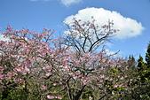 2021平菁街 第ㄧ棵滿開的櫻花:DSC_0340_調整大小.JPG