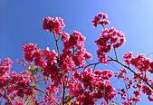 白毛台山  櫻花:IMG_20210213_090140_調整大小.jpg